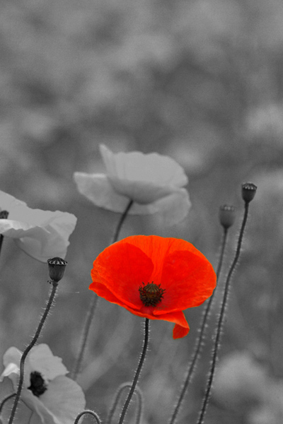 Wear a Poppy for Remembrance Day
