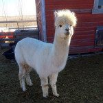 Mi Alpaca Su Alpaca, New Farm Additions