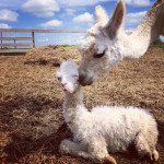 New Baby Alpaca Joined the Farm Named