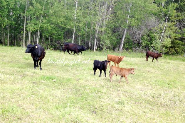 CattleDrive101Close