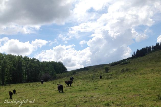 CattleDrive101Open
