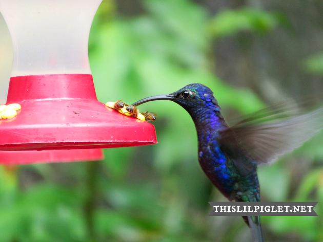 HummingbirdCostaRica