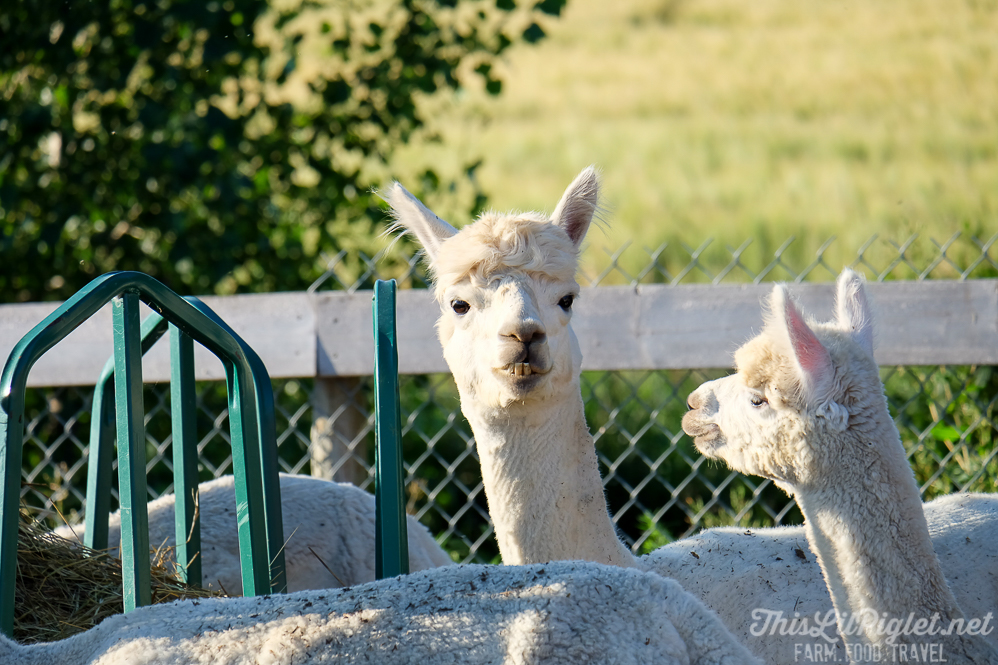 Farm Alpaca Closeup FujiFilm XC50-230mm Lens Review