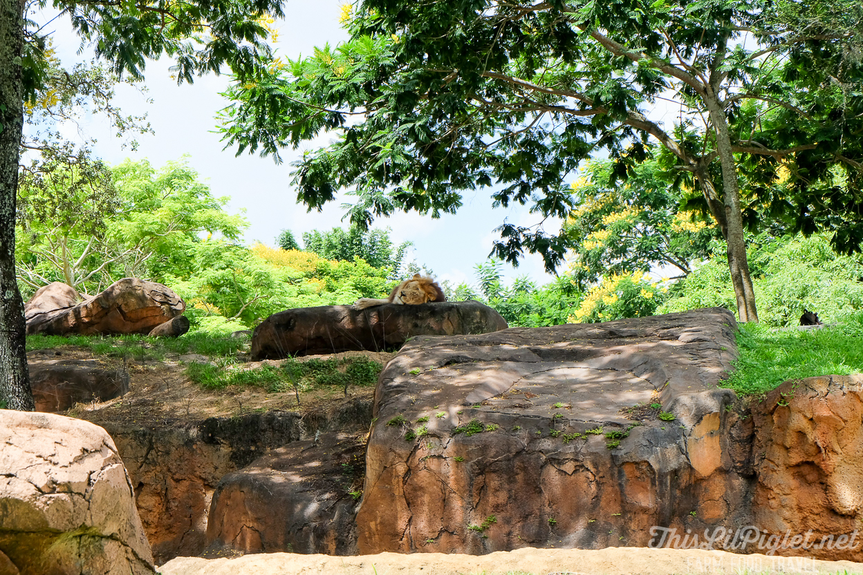 Walt Disney World Disney's Animal Kingdom Kilimanjaro Safaris Lions // thislilpiglet.net