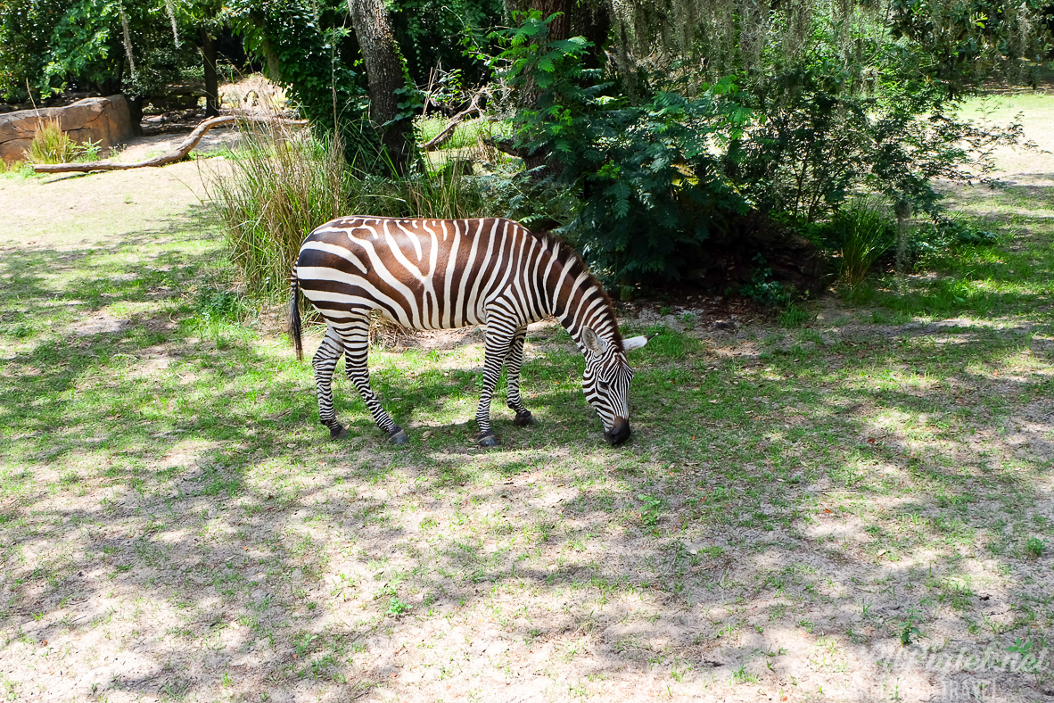 Walt Disney World Disney's Animal Kingdom Kilimanjaro Safaris Zebras // thislilpiglet.net