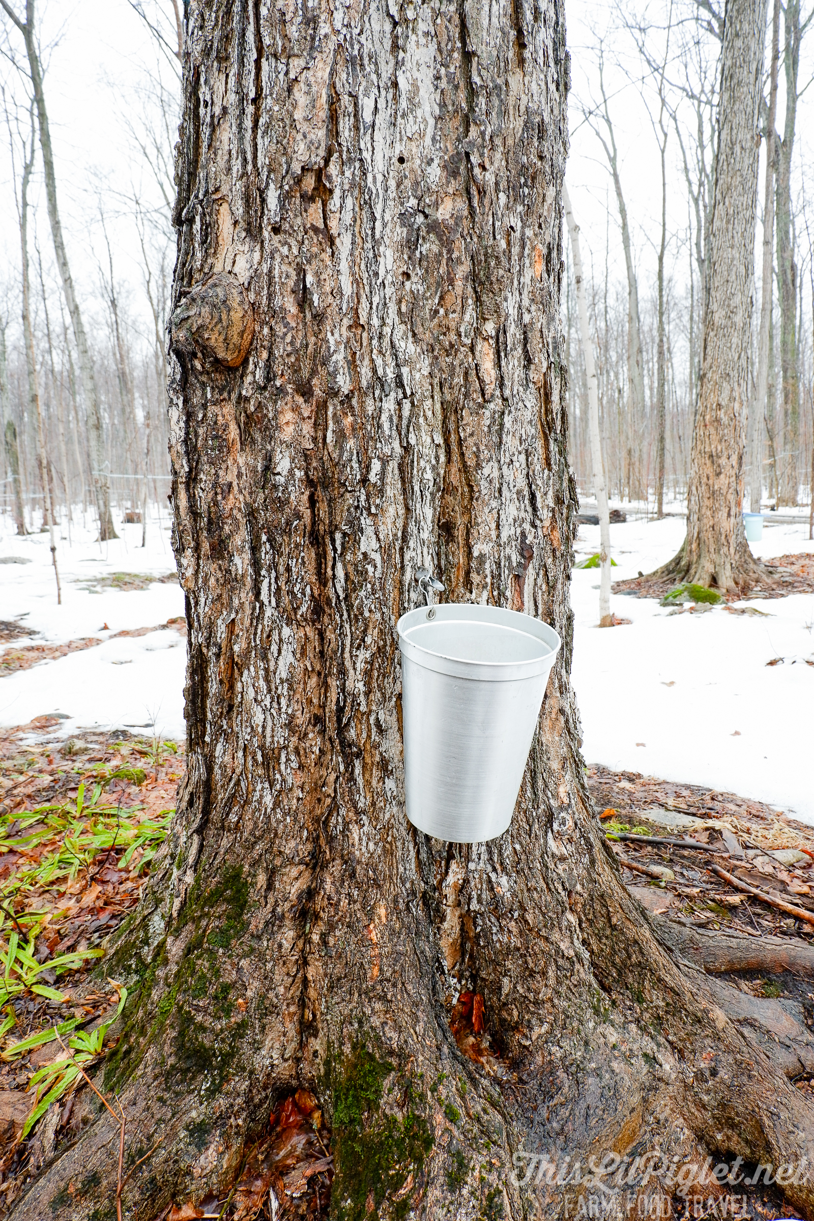 Winter Travel Bucket List: What to Do - Shaws Syrup Bush Tapping Maple Trees for Maple Syrup // thislilpiglet.net
