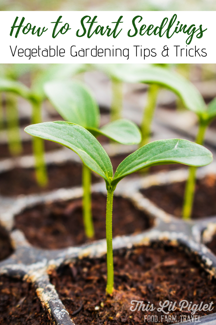 How to Start Seedlings Vegetable Gardening Tips and Tricks // thislilpiglet.net